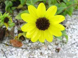 Florida State Wild Flower - florida natives seeds pine forest fruit and flower farm north