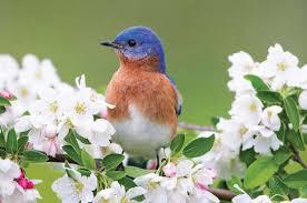 Backyard Birds Utah How To Attract Bluebirds Attracting Birds Birds U0026 Blooms