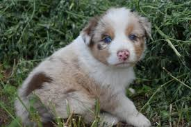australian shepherd gray akc asca australian shepherd puppies in hoobly classifieds