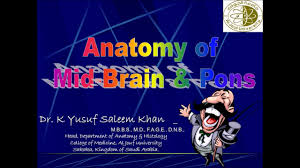 Brain Stem Anatomy Anatomy Lecture On Brain Stem 1 Mid Brain U0026 Pons Youtube