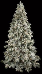 live blue spruce tree characteristics picea pungens