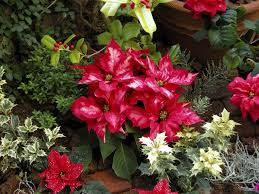 image of garden flowers popular christmas plants and flowers