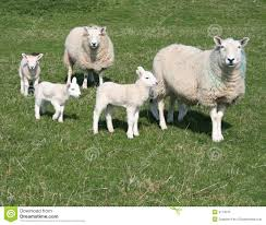 sheep and lambs in field stock photo image 49839903