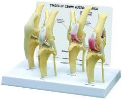 Anatomy Of The Knee Anatomy Model Knee Canine 4 Stage Osteoarthritis