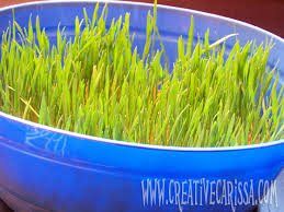 easter grass in bulk how to grow your own edible easter grass creative green living