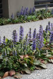 native australian ground cover plants ajuga