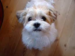 bichon frise jack russell for sale 35 unreal shih tzu cross breeds you have to see to believe