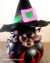 Chihuahua Halloween Costume Chihuahuas Halloween Costumes 2012 Famous Chihuahua Halloween