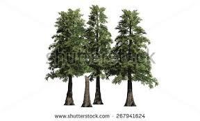 western cedar tree cluster isolated stock illustration 267941624