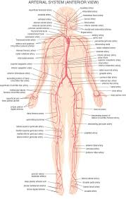 Human Body Anatomy Pics Whole Human Body Anatomy Anatomy Organ