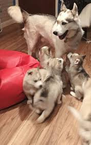 akc registered siberian husky puppies for sale home