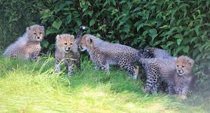 toronto zoo shows 3 month cheetah cubs 680 news