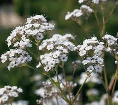 Baby S Breath Flower Gypsophila Paniculata Baby U0027s Breath