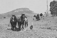 australian shepherd qld australian cattle dog wikipedia