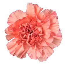 carnations flowers standard carnation flower in bulk carnation flowers for sale
