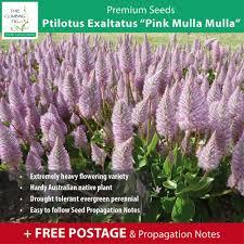 propagating australian native plants ptilotus u201cpink mulla mulla