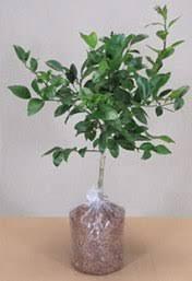 etrog for sale buy etrog citrus trees online