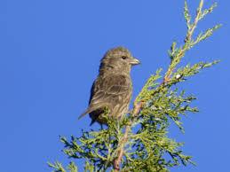 geotripper u0027s california birds a not so very red crossbill at