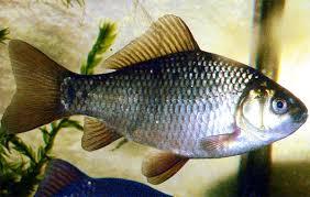 crucian carp fish modern farming methods
