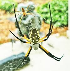 Male Spider Anatomy Male And Female Yellow Garden Spiders In Texas Bugs In The News