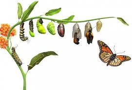 why do caterpillars turn into butterflies owlcation