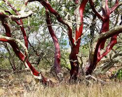 manzanita trees bark of manzanita tree stock photo image of surviving 48040744