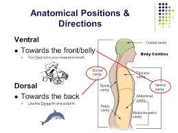Human Anatomy Terminology Body Regions U0026 Anatomical Terminology Ppt Video Online Download