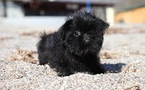 affenpinscher breeders canada brussels griffon puppies breed information u0026 puppies for sale
