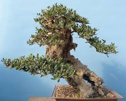 bonsai trees for sale indoor and outdoor bonsai starter trees
