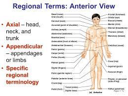 Directional Terms Human Anatomy Anatomical Directional Terms And Regions Directional Terms