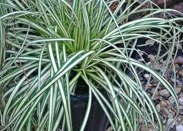 ornament stunning ornamental grasses houston us 2 39 pcs pas