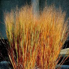 perennial zones 4 10 great ornamental grass 3 5 space 2