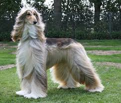 zoso afghan hound afghan hound kennels in the u s a afghan hound comprehensive