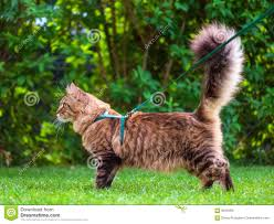 maine coon on grass in garden stock photo image 93346931