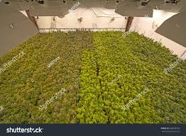 huge recreational cannabis grow room greenhouse stock photo