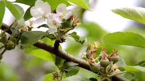 apple tree bloom wallpapers nature spring apple tree flowers free background video full