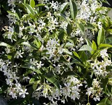 Fragrant Jasmine Plant - fragrant white climbers