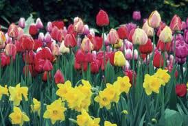 can i transplant my daffodils and tulips if they are ready to