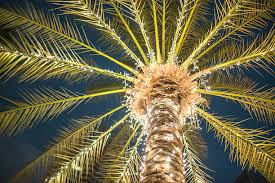 palm tree christmas tree lights royalty free palm tree christmas lights pictures images and stock