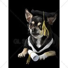 dog graduation cap and gown graduation dog gl stock images