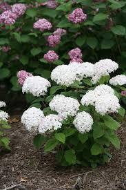 white hydrangea invincibelle limetta smooth hydrangea hydrangea arborescens