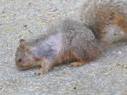 hair loss in squirrels may be nothing to fret about u2013 the mercury news
