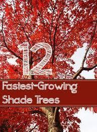 Backyard Trees For Shade - lavender twist weeping redbud zone 5 10 8 10 u0027h x 8 10 u0027w full