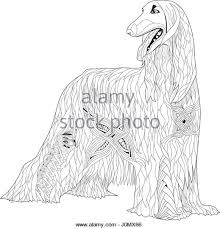 afghan hound breeders europe afghan hound black and white stock photos u0026 images alamy