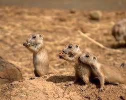 Kansas wild animals images 179 best prairie dogs images prairie dogs jpg