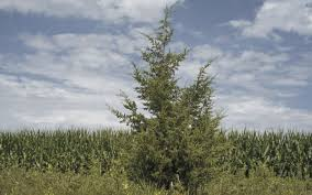 nebraska native plants fast spreading trees a headache in nebraska iowa dakotas local