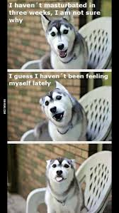 Pun Dog Meme - a new husky has taken over the pun dog meme 9gag