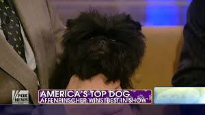 affenpinscher hawaii meet the cute dog that won westminster banana joe the atlantic