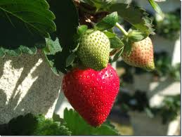 strawberry plant descriptions photos advices videos home