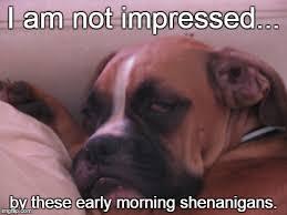 boxer dog meme shenanigans imgflip